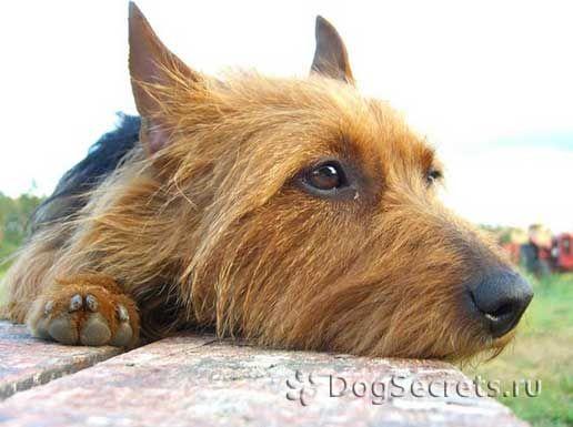 Leptospiroza la câini