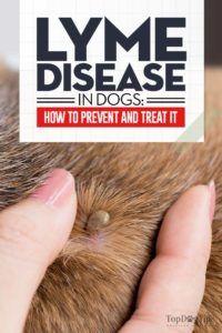 Boala Lyme la câini: 10 moduri de prevenire și tratare a acesteia