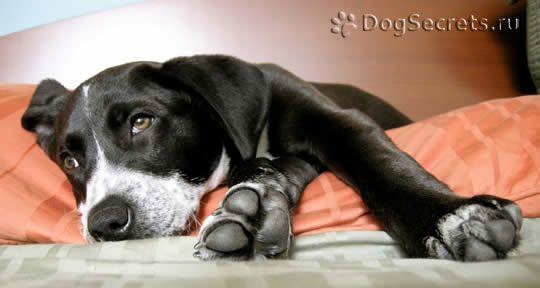 Simptomele și tratamentul meningitei la câini