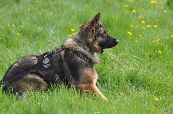 Noua lege canadiană face o infracțiune penală pentru a afecta câinii de serviciu