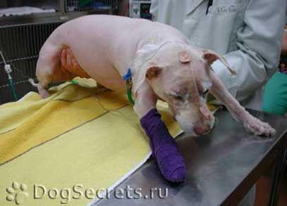 Tratamentul și prevenirea paraliziei extremităților la câini