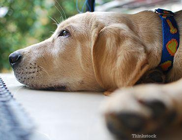 Câine de stabilire