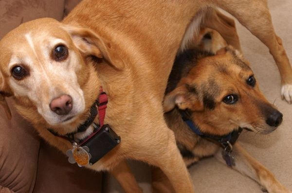 Studiul: gulerele electronice pentru câini ar putea face mai mult rău decât bine