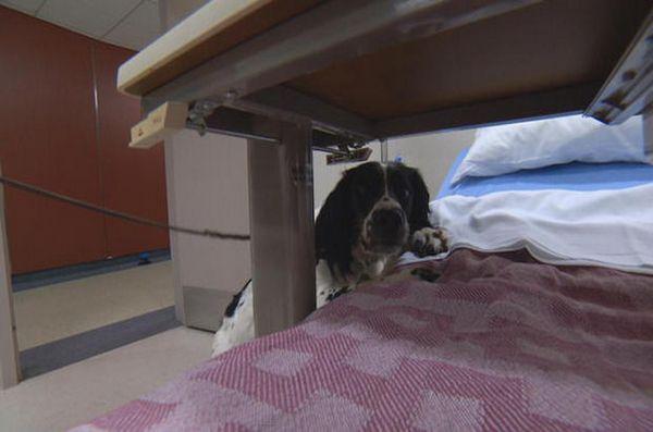 Câinele super miroase superbugii la spitalul din Vancouver