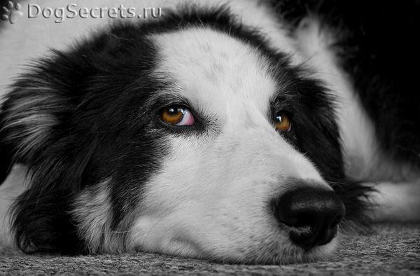De ce câinele elimină din ochi?