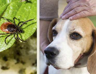 Tick și câine