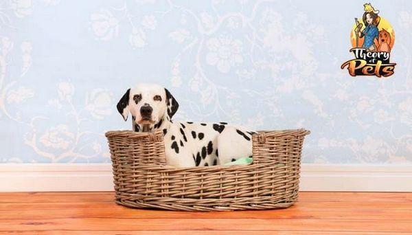 Top # 4: beneficiile pentru sănătate ale paturilor de câini