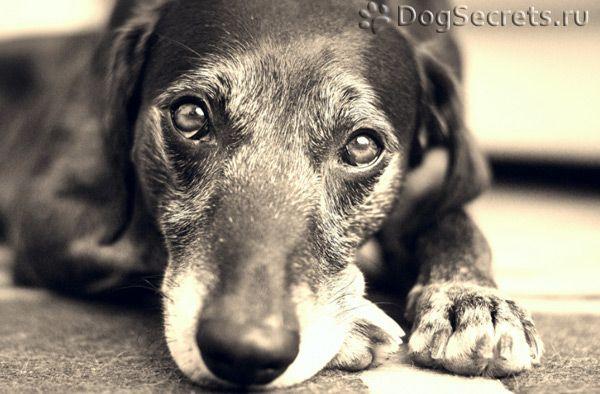 Simptomele și tratamentul trichofitozei la câini