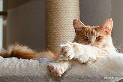 Pisica pe postul de zgarieturi