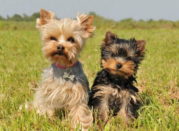 Ce este legg-calve-perthes la câini?