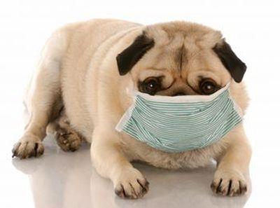 bolnav-pug