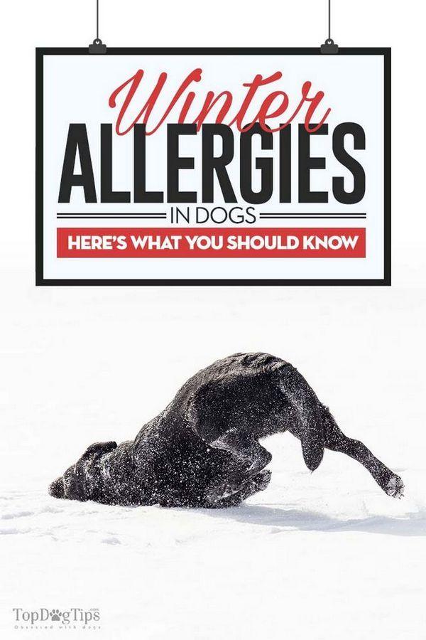 Alergii de iarnă la câini: diagnostic, simptome și tratamente